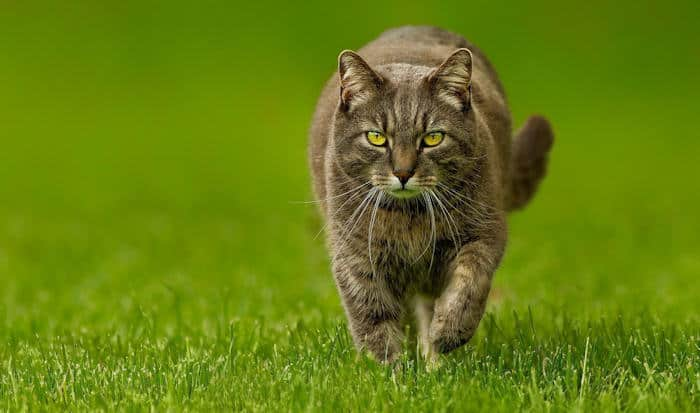 keep cats off your lawn