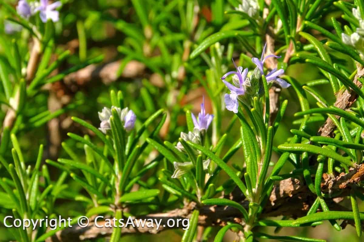 is rosemary toxic to cats